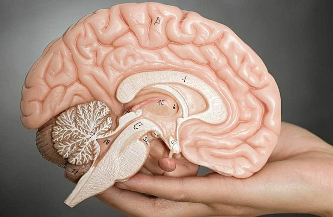 Holding Brain In The Hand